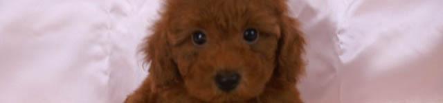 その3:トイプードル(犬)