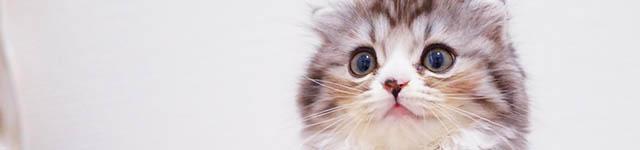 その2:スコティッシュフォールド(猫)