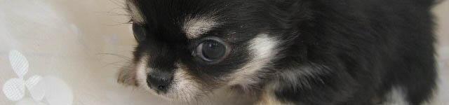 その4:ロングチワワ(犬)