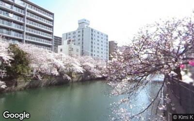 大岡川の桜の様子