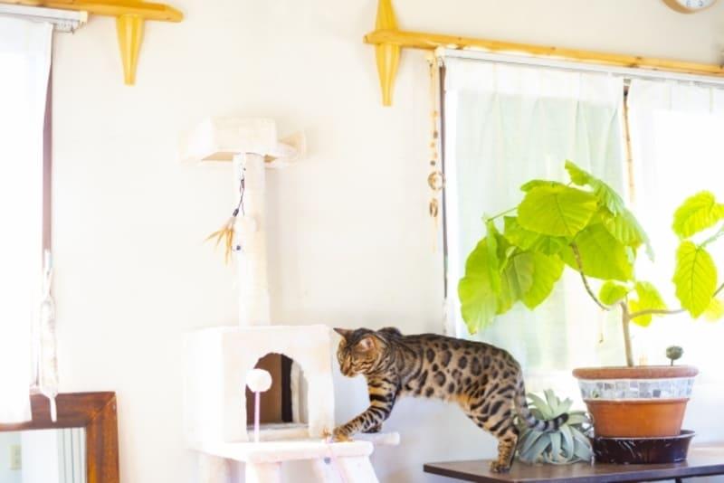 キャットタワーに乗るベンガル猫
