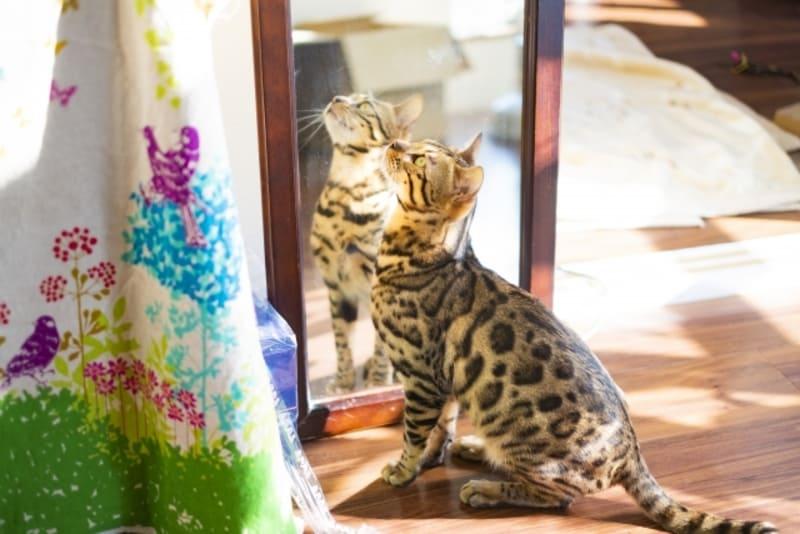 部屋の中のベンガル猫の日常